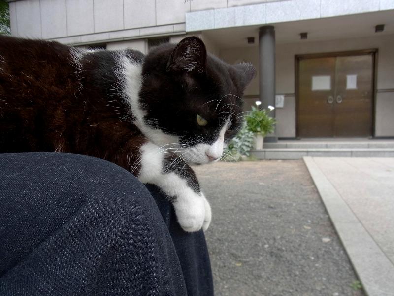 膝に乗って視線を巡らす黒白猫1
