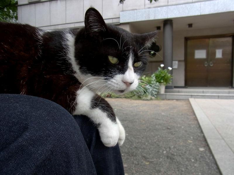 膝に乗って視線を巡らす黒白猫2