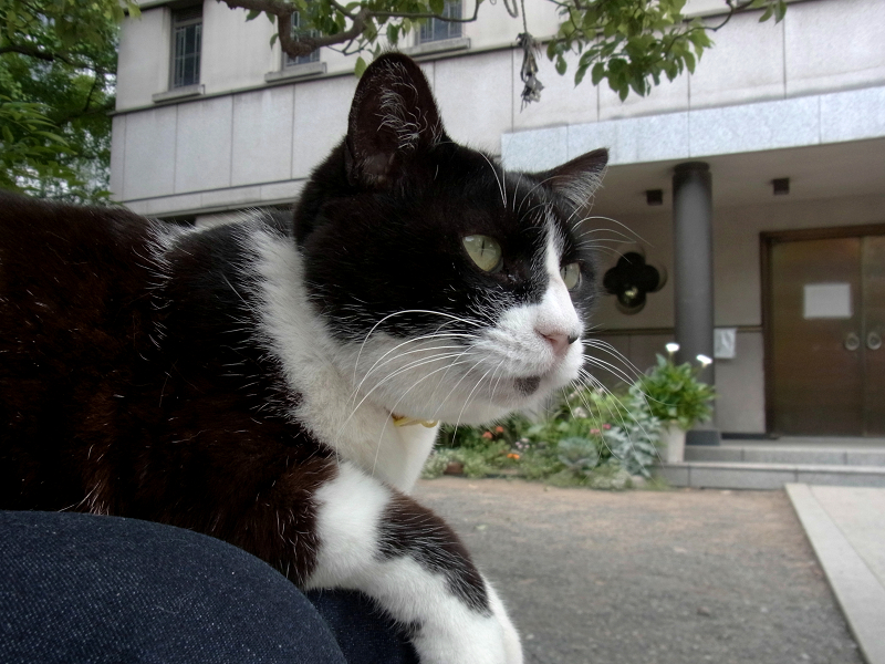 膝に乗って視線を巡らす黒白猫3