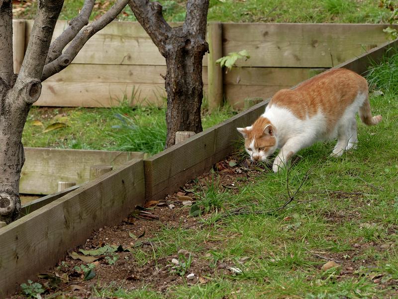 土に穴を掘ってる茶白猫1