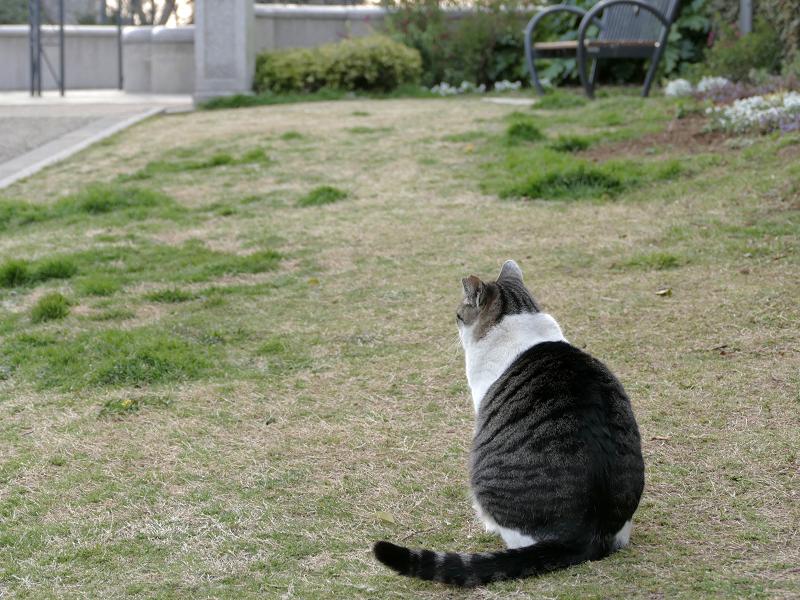 公園のキジ白猫の後ろ姿1
