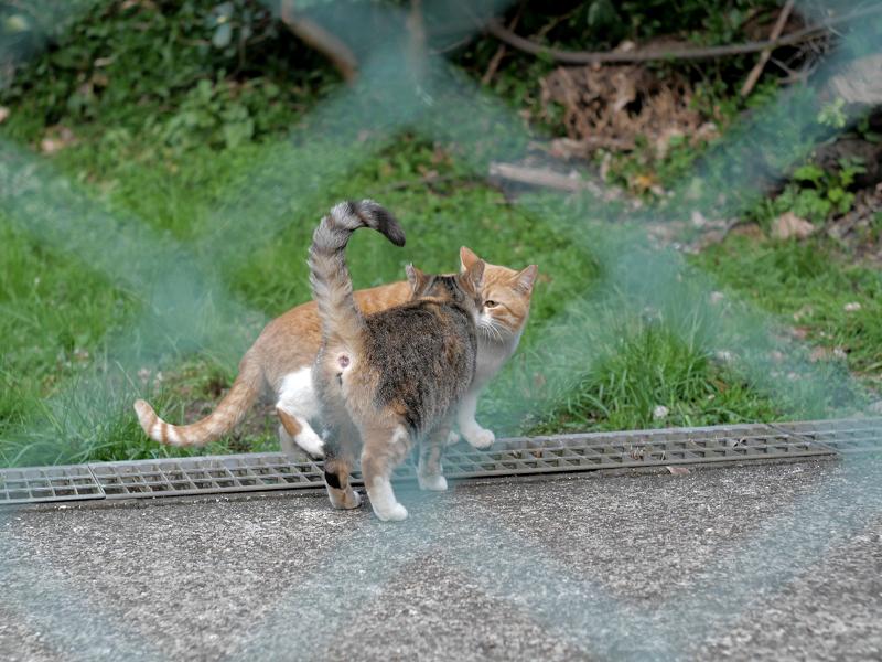 金網の向う側の仲良しな猫たち1