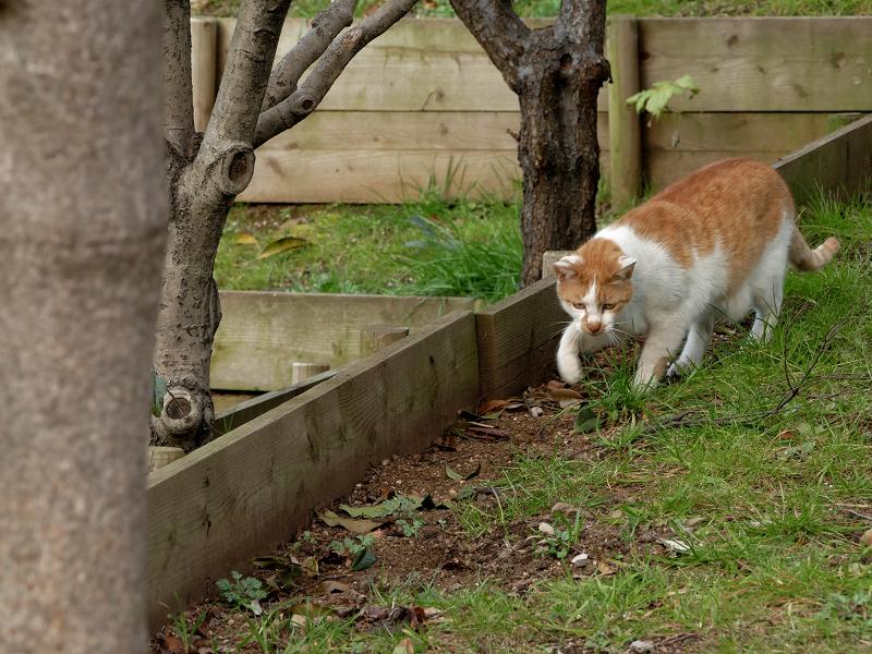 土に穴を掘ってる茶白猫2