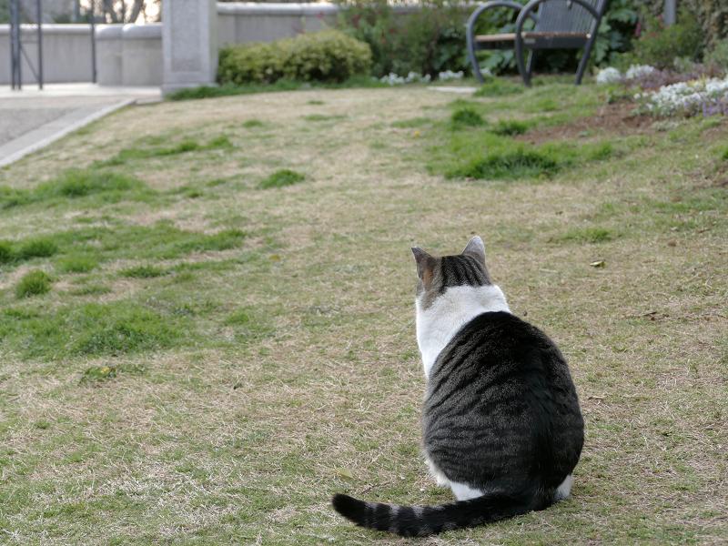公園のキジ白猫の後ろ姿2