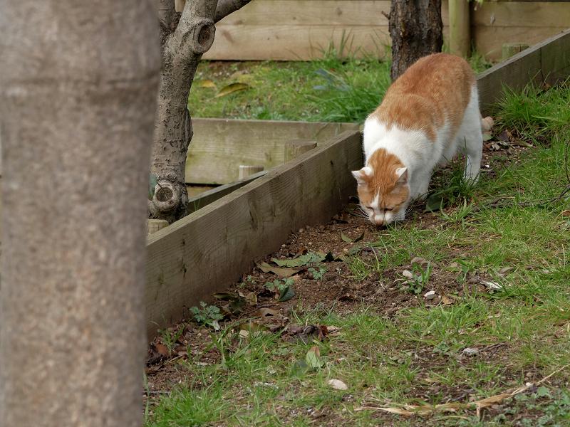 土に穴を掘ってる茶白猫3