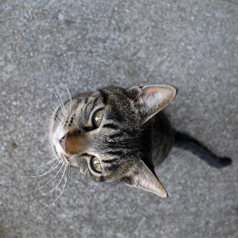 カメラを見上げるキジトラ猫2