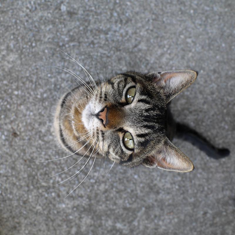 カメラを見上げるキジトラ猫3