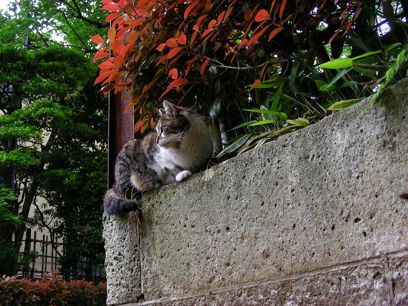 赤い葉っぱとキジ白猫1
