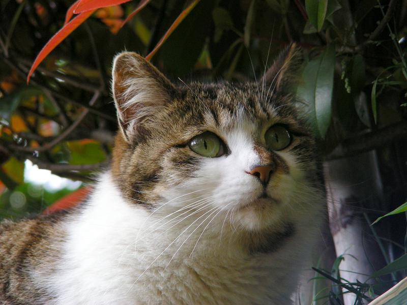 赤い葉っぱとキジ白猫2