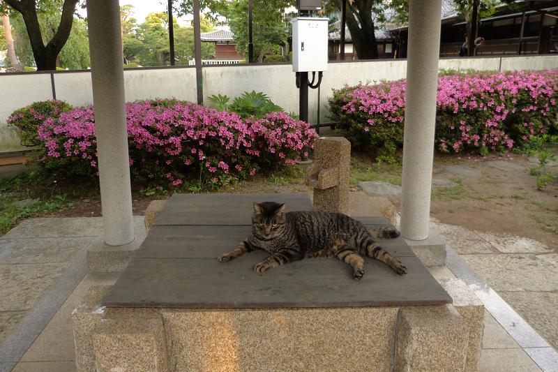 再び井戸の蓋に乗ったキジトラ猫1