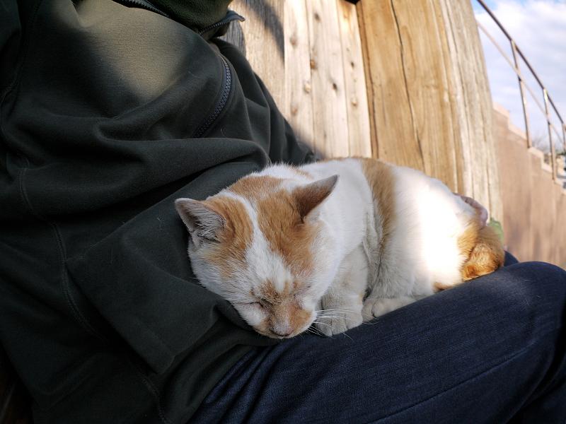 膝で丸まった白茶猫1