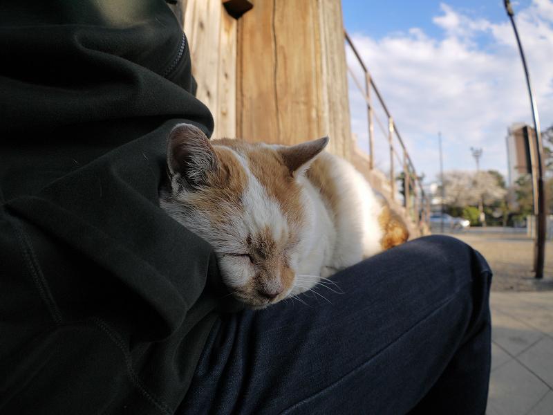 膝で丸まった白茶猫2