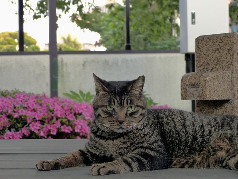 再び井戸の蓋に乗ったキジトラ猫3