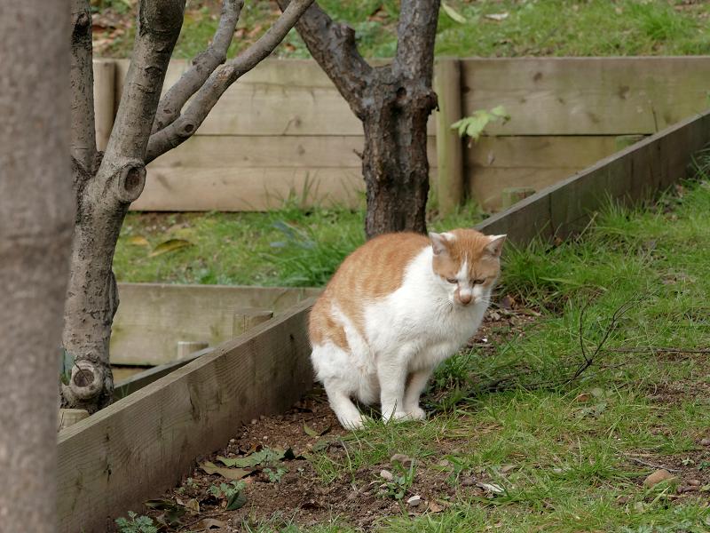 公園で用を足してる茶白猫1
