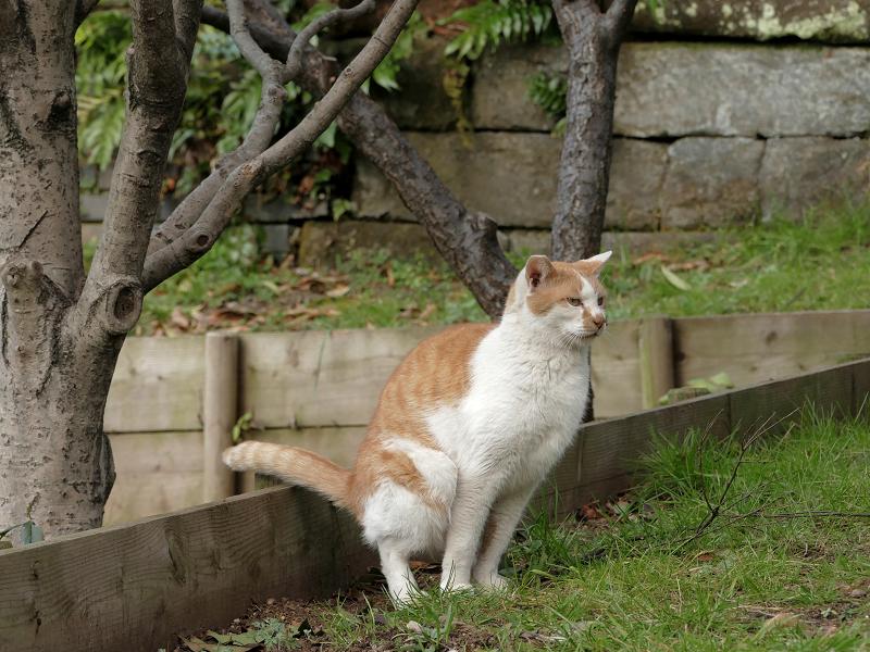 公園で用を足してる茶白猫2