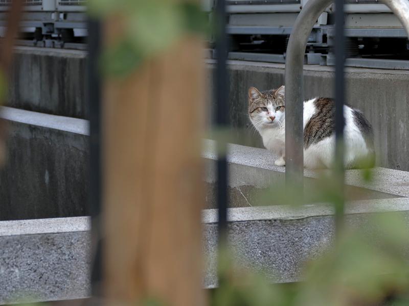 遠くの白キジ猫2