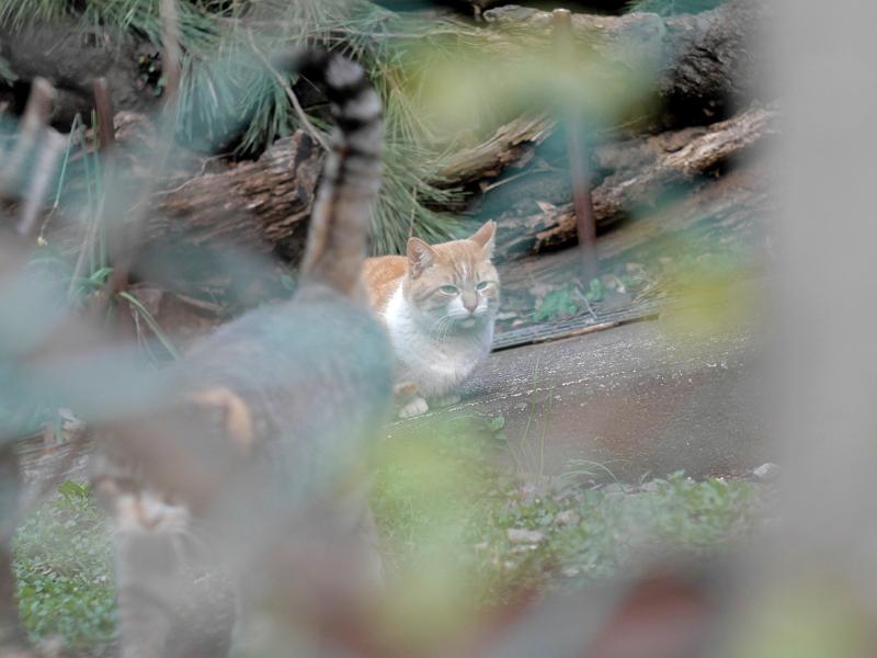 金網の向う側のスロープの猫たち3