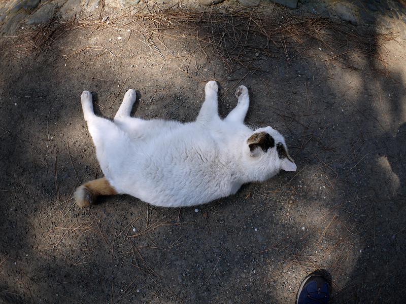 足元で転がって上を見上げる白キジ猫1