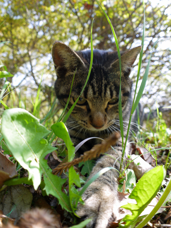 草むらで遊ぶキジトラ猫1