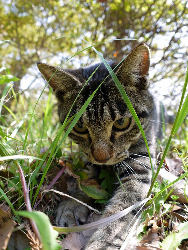 草むらで遊ぶキジトラ猫3