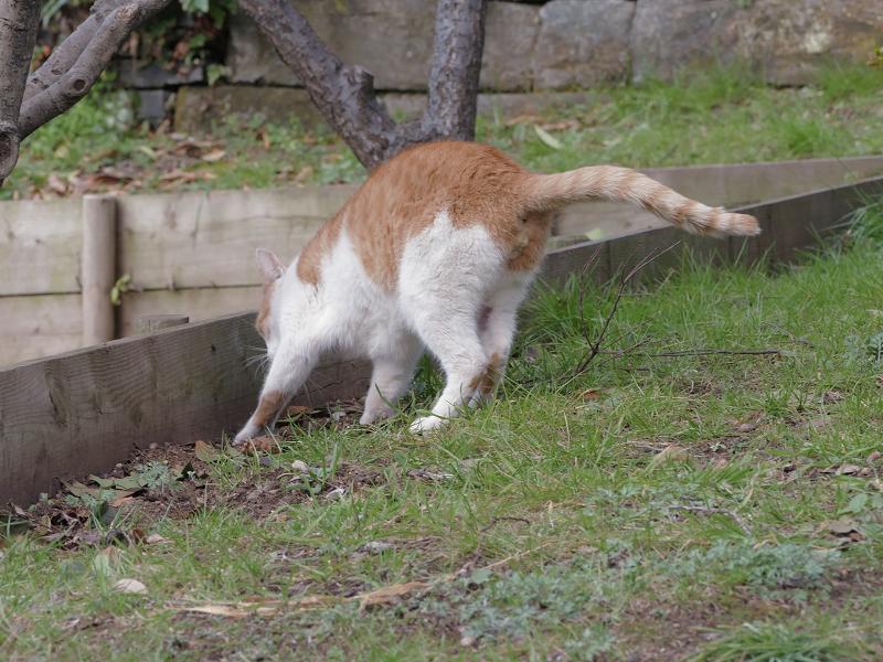 自分のウンチを隠す茶白猫1