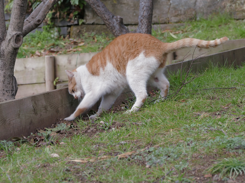 自分のウンチを隠す茶白猫2