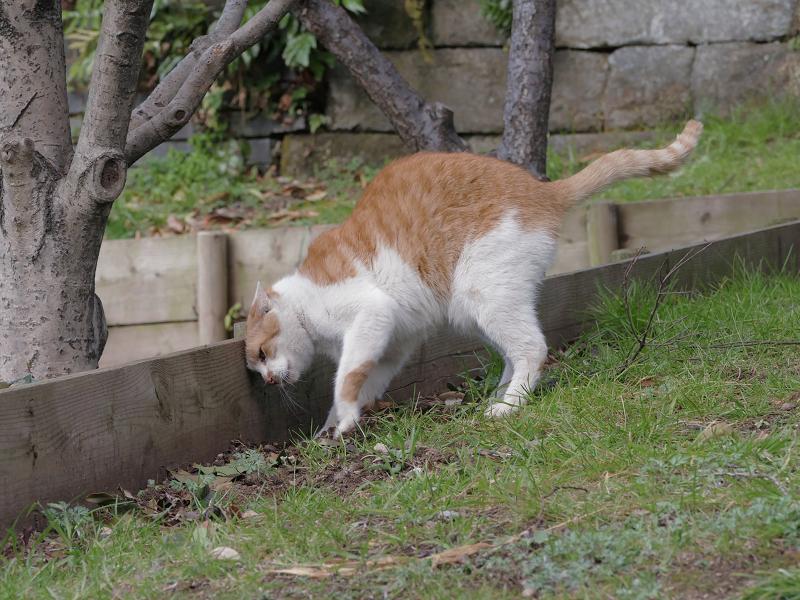 自分のウンチを隠す茶白猫3