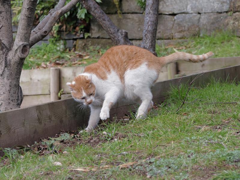 自分のウンチを隠す茶白猫4