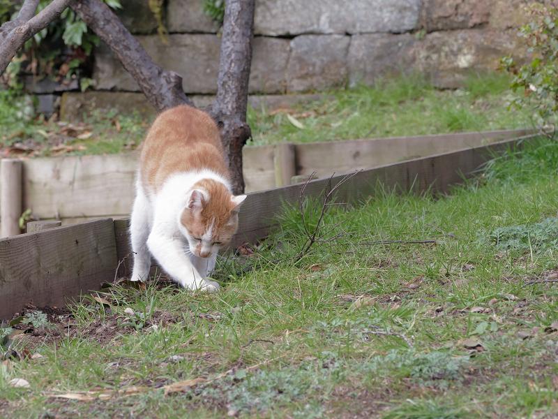 自分のウンチを隠す茶白猫5