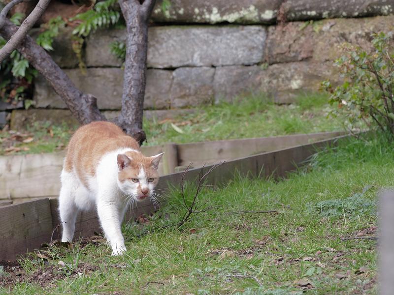 自分のウンチを隠す茶白猫6