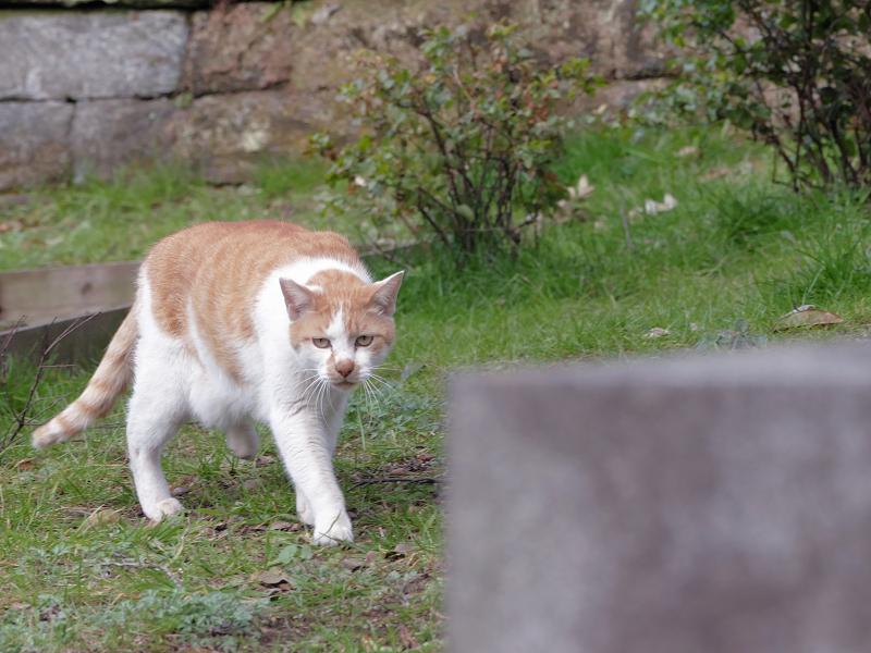 自分のウンチを隠す茶白猫7