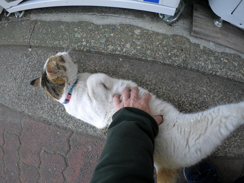 自販機前で触られる白三毛猫1