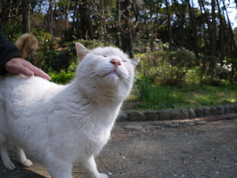 腰を触られて気持ちがいい白キジ猫4