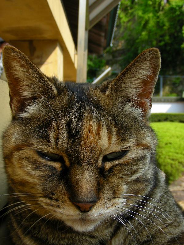 濡れ縁の外側で寝てるキジトラ猫4