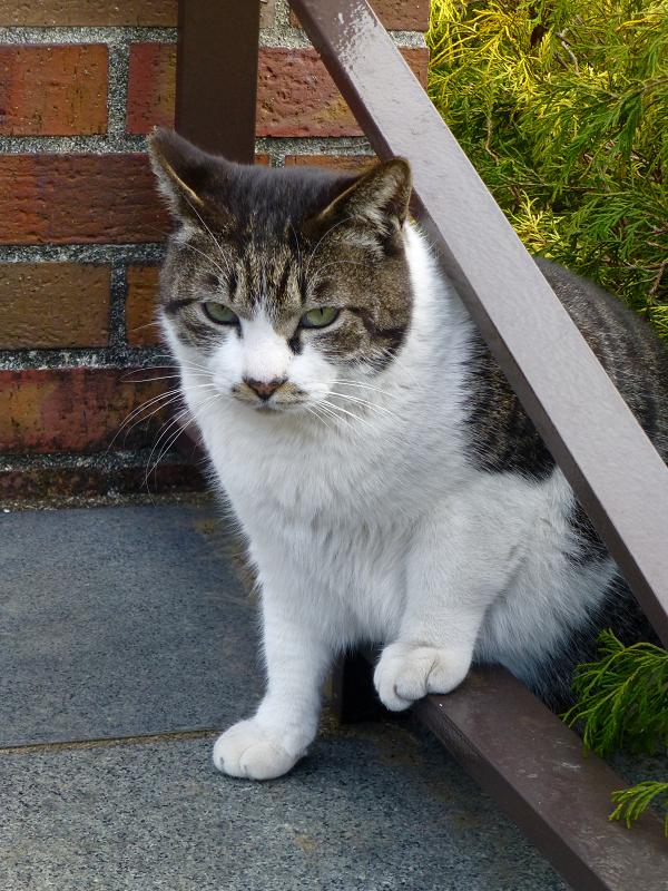 植え込みから煉瓦ベンチへ出て来たキジ白猫2