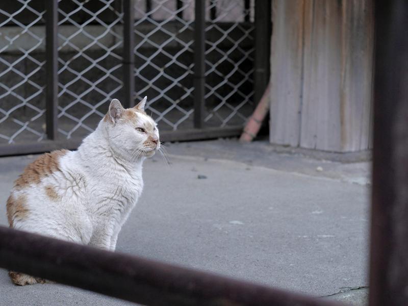 本堂犬走りの白茶猫1