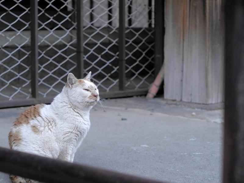 本堂犬走りの白茶猫2