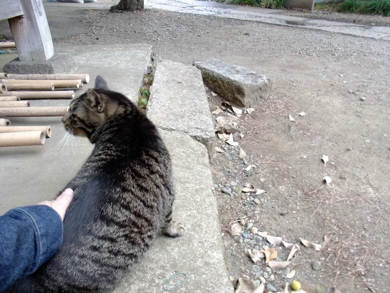 腰をトントンされる「キジトラ猫2