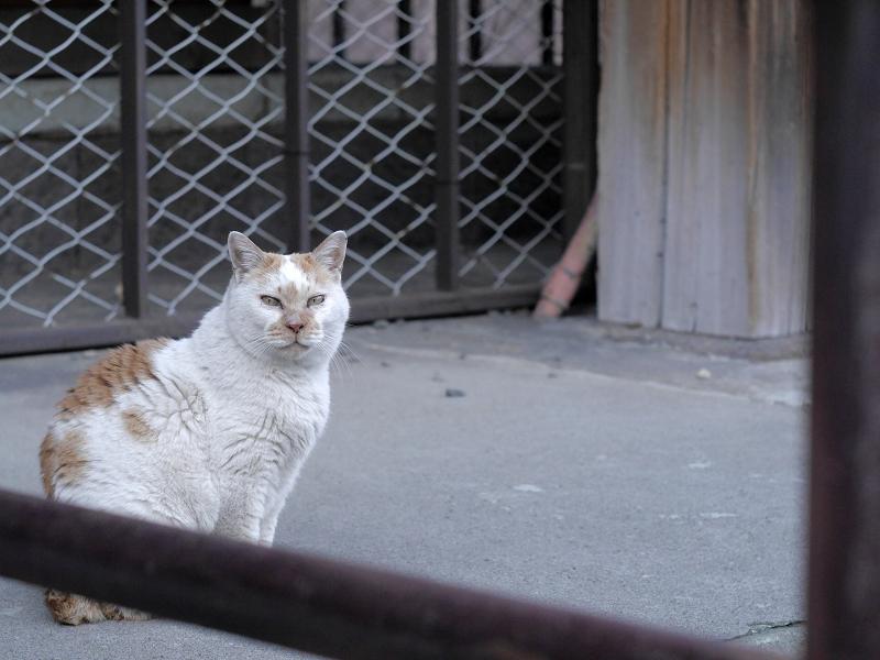 本堂犬走りの白茶猫3