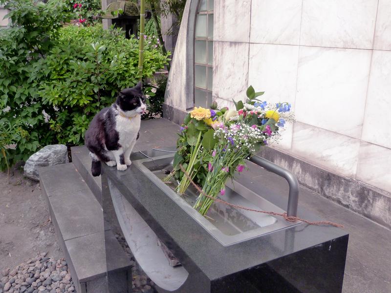 献花台から降りる黒白猫1