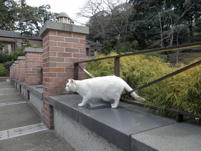 公園に出て来た白猫1
