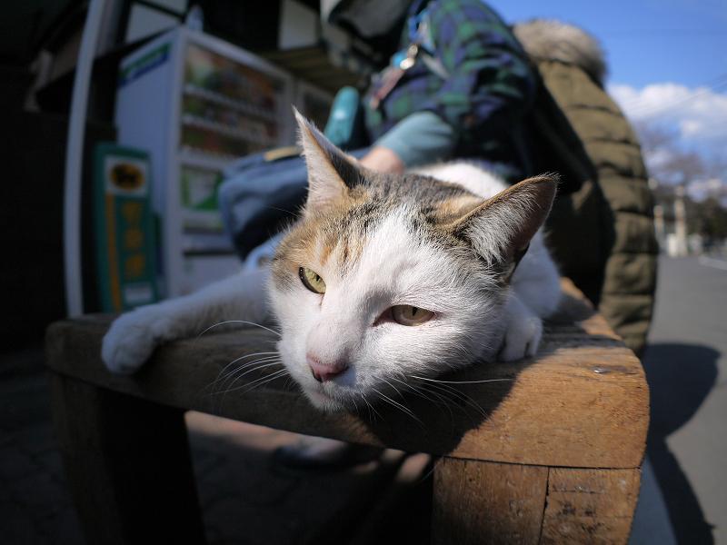 ベンチで寝そべった白三毛猫1