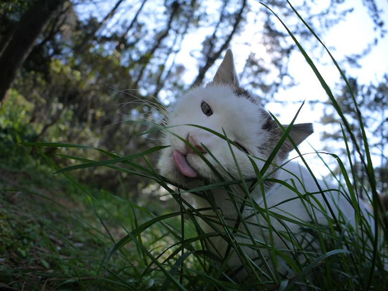 細い草を食べてる白キジ猫2