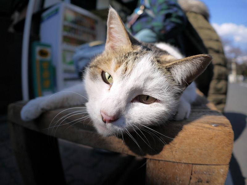 ベンチで寝そべった白三毛猫2
