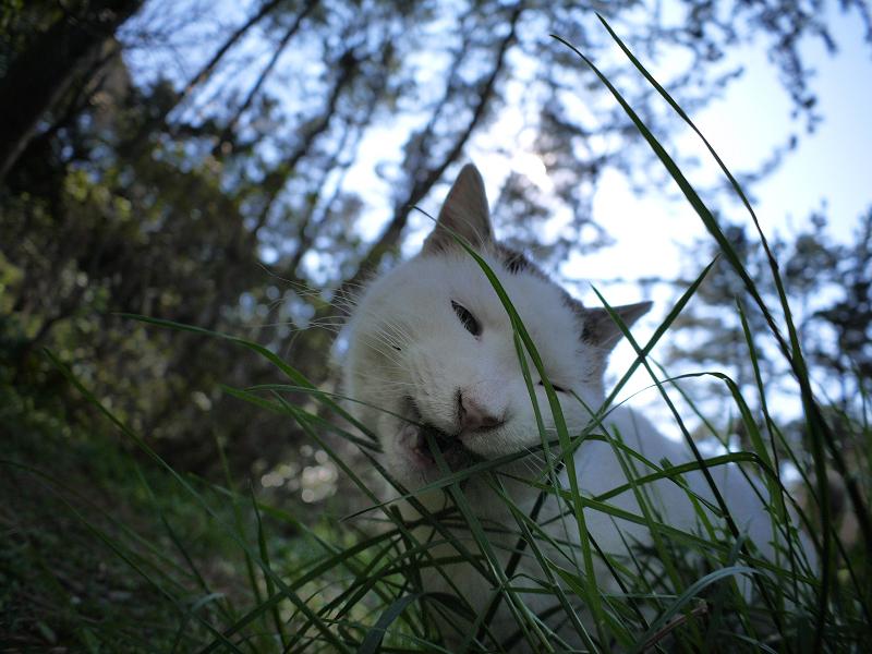 細い草を食べてる白キジ猫3