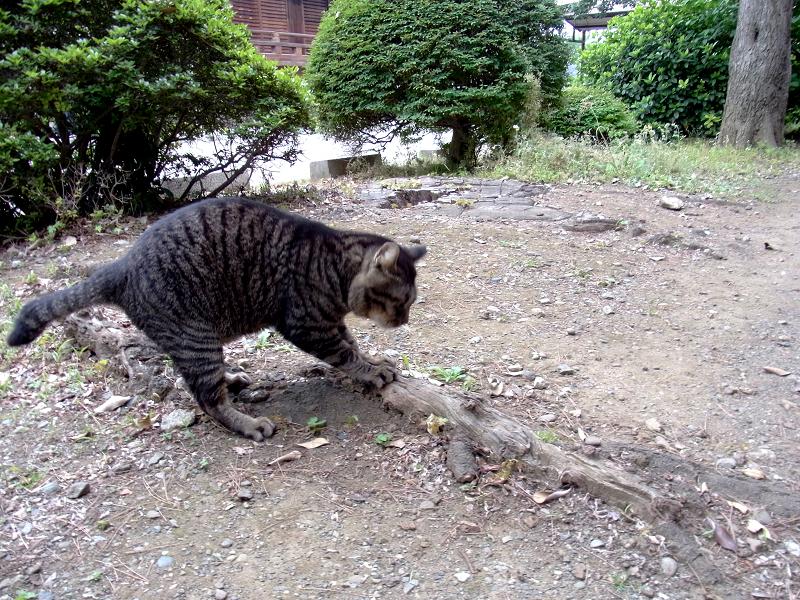 木の根っこでパッツンするキジトラ猫1