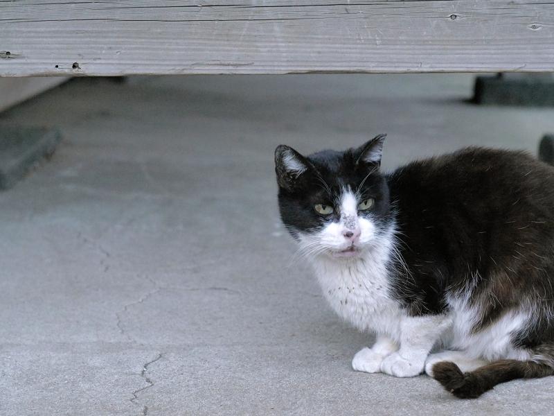 夕暮れの黒白猫2