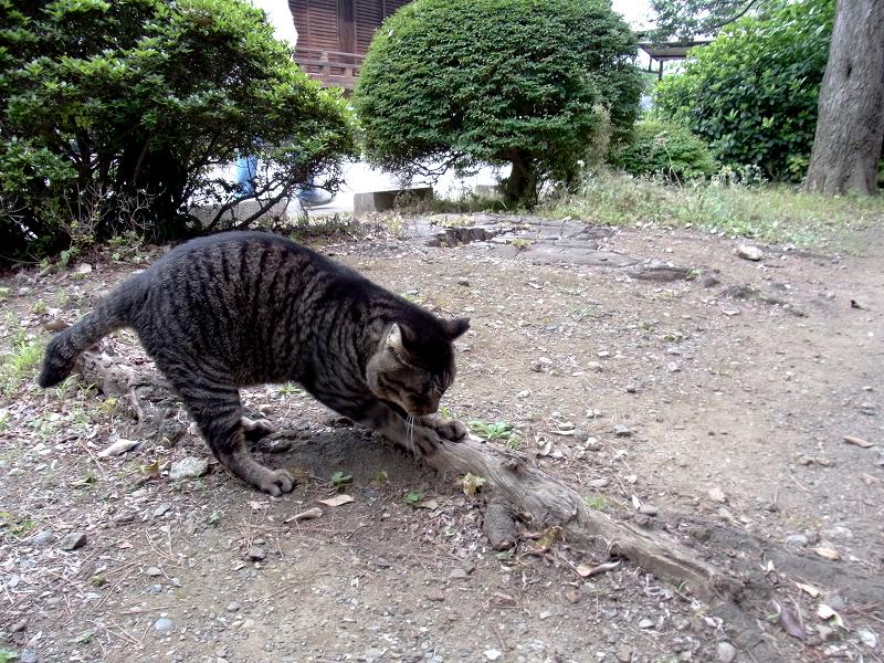 木の根っこでパッツンするキジトラ猫2