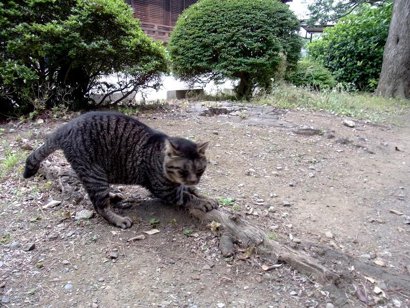 木の根っこでパッツンするキジトラ猫3