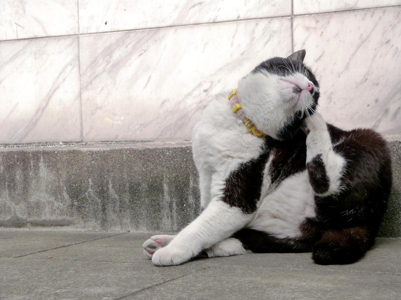 ノンビリと毛繕いを初めた黒白猫2